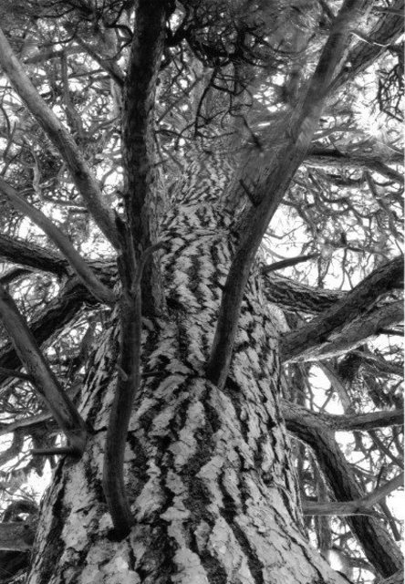 Michael Easton  'Ponderosa Pine 2', created in 2004, Original Photography Black and White.