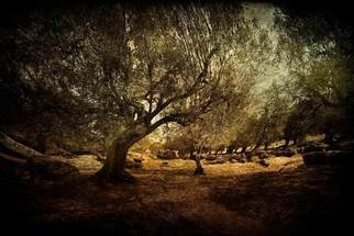 Color Photograph by Michael Regnier titled: Olive Grove Panoramic, created in 2010
