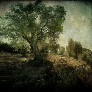 Color Photograph by Michael Regnier titled: Olive Grove and Grazing Sheep, created in 2010