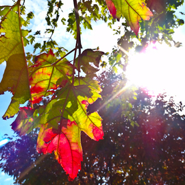 Nancy Bechtol: 'Leaves rally to sun', 2012 Color Photograph, Beauty. Artist Description: fall, shadow, bechtol...