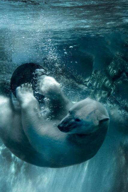 Nancy Bechtol Polar Bear Blue  Zoo Beings series 2015
