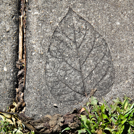 leaf in cementurban myth By Nancy Bechtol