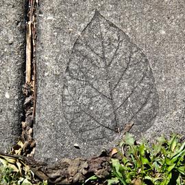 leaf in cementurban myth