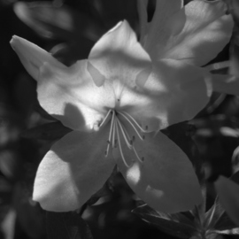 Obert Fittje: 'Alien Azalea', 2010 Black and White Photograph, Floral. Artist Description:  After taking photographs of the azaleas blooming in my yard, I discovered that this image looked like an alien with large eyes and several tongues.   ...