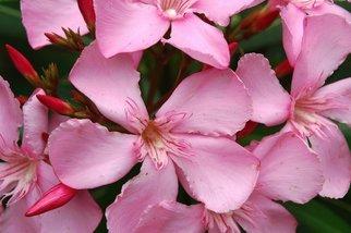 Obert Fittje Artwork April Oleanders, 2006 April Oleanders, Floral