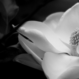 Obert Fittje: 'Dark Magnolia', 2007 Black and White Photograph, Abstract Landscape. Artist Description:  This is a close- up image of a magnolia blossom with a very dark background.  Due to the light and close- up image, it begins to take on abstract qualities. ...