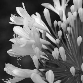 Obert Fittje: 'Lilly of the Nile', 2007 Black and White Photograph, Floral. Artist Description:  This is a simple black and white image of a lilly of the Nile blooming in our front yard.  This image has been licensed to Hallmark of England for use in their products in England and Ireland.       ...