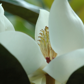 Obert Fittje: 'Magnolia Close Up', 2007 Color Photograph, Floral. Artist Description:  This is a close up of a magnolia blossom from our front yard showing the details at the center of the blossom. ...
