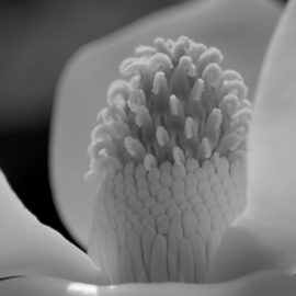 Obert Fittje: 'Magnolia Core', 2007 Black and White Photograph, Floral. Artist Description:  This is an extreme closeup of the inside of a magnolia blossom taken in my front yard. ...