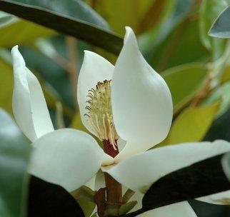 Obert Fittje Artwork Magnolia Standing Tall, 2006 Magnolia Standing Tall, Floral