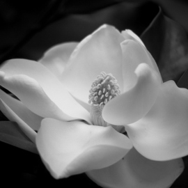 Obert Fittje: 'Magnolia in August', 2007 Black and White Photograph, Floral. Artist Description:  This was one of the August blooms on our magnolia tree. ...