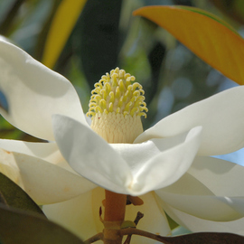 Obert Fittje: 'Magnolia in June', 2007 Color Photograph, Floral. Artist Description:  This is a magnolia blossom that bloomed in June in the tree in our front yard. ...