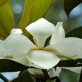Obert Fittje: 'May Magnolia', 2006 Color Photograph, Floral. Artist Description:  This is one of the May blossoms on our magnolia tree. ...