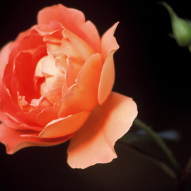 Obert Fittje: 'Rose and Bud', 1994 Color Photograph, Floral. Artist Description:  This is a photo of a rose and a nearby bud waiting its turn to bloom. ...