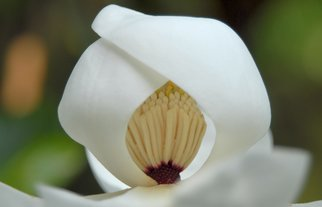 Obert Fittje Artwork Shy Magnolia Closeup, 2007 Shy Magnolia Closeup, Floral