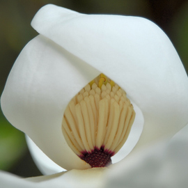 Obert Fittje: 'Shy Magnolia Closeup', 2007 Color Photograph, Floral. Artist Description:  This is a closeup image of the shy magnolia taken in my front yard. ...