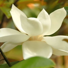 Obert Fittje: 'Soft Magnolia', 2007 Color Photograph, Floral. Artist Description:  This image came out softer than most, but fit with the softness and texture of the magnolia blossom. ...