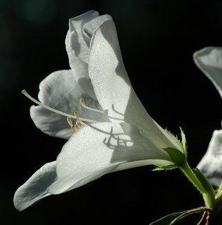 Obert Fittje Artwork White Azalea, 2005 White Azalea, Floral