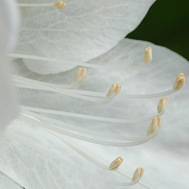 Obert Fittje: 'White Azalea Closeup', 2006 Color Photograph, Floral. Artist Description:  This is an extreme closeup of a white azalea blossom taken in my yard. ...