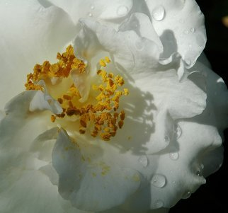 Obert Fittje Artwork White Camelia, 2006 White Camelia, Floral
