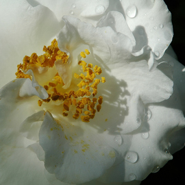 Obert Fittje Artwork White Camelia, 2006 Color Photograph, Floral