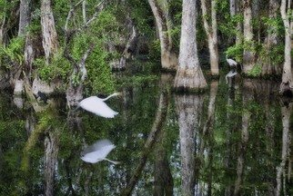 Stephen Robinson: 'dusk great cypress swamp', 2012 Color Photograph, Landscape. Artist Description: A life moment in a great national treasure...