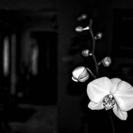 orchid By Stephen Robinson