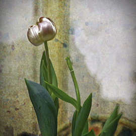 tulip By Stephen Robinson