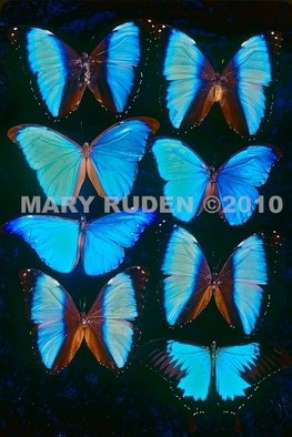 Mary Ruden: 'Morphos', 2010 Color Photograph, Nature. Artist Description:  Photo of actual Morpho butterflies. Photos can be made any size, on many types of surfaces: vinyl, papers, backlit film. ...