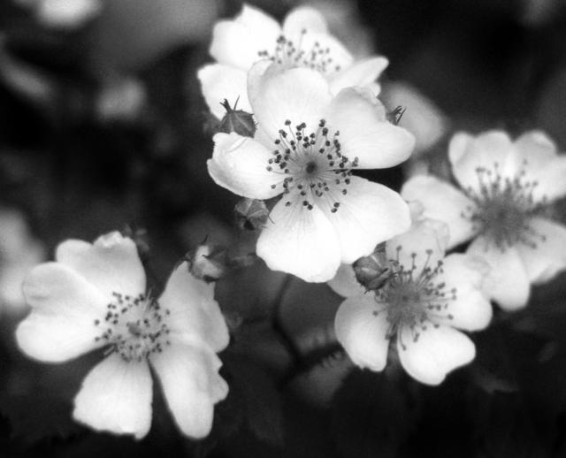 Erik Roman  'Wild Roses', created in 2008, Original Photography Black and White.