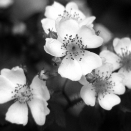 Erik Roman: 'Wild Roses', 2008 Black and White Photograph, Floral.