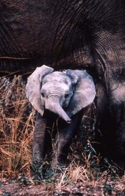 Paula Durbin: 'Baby Ely', 2001 Color Photograph, Wildlife. Fresson print. Zambia. This baby is about 3- 4 months old and just learning to use its trunk.May be printed in other sizes and processes. ...