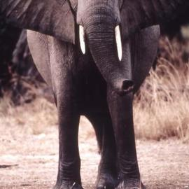 Paula Durbin: 'Elephant', 2001 Color Photograph, Wildlife. Artist Description: Fresson print. Zambia. May be printed in other sizes and processes....