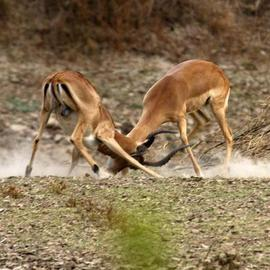 Paula Durbin: 'Fighting Impala', 2003 Color Photograph, Wildlife. Artist Description: These young bucks were practising for dominance next year. Zambia. Canvas Print.  May be printed in other sizes and processes....
