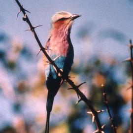 Paula Durbin: 'Lilac Breasted roller', 2001 Color Photograph, Wildlife. Artist Description: A Fresson print. Zambia.  This LBR sat on the branch and turned towards us for over 15 minutes. May be printed in other sizes and processes....