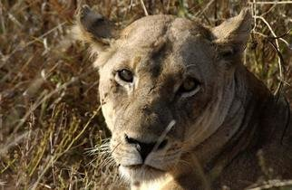 Paula Durbin: 'Lioness', 2003 Color Photograph, Wildlife. South Africa.  Printed on Canvas.  May be printed other sizes and processes....
