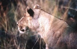 Paula Durbin: 'Lioness Profile Horizontal', 2001 Color Photograph, Wildlife. A Fresson print. Zambia. May be printed in other sizes and processes....