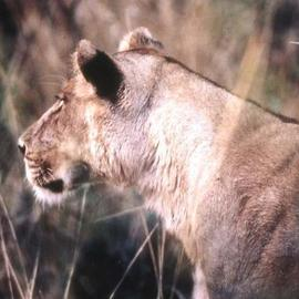Paula Durbin: 'Lioness Profile Horizontal', 2001 Color Photograph, Wildlife. Artist Description: A Fresson print. Zambia. May be printed in other sizes and processes....