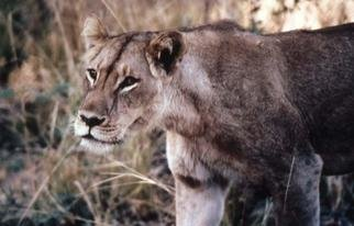 Artist: Paula Durbin - Title: Lioness Walking - Medium: Color Photograph - Year: 2001