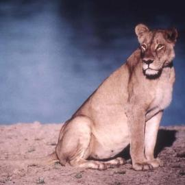 Paula Durbin: 'Lioness on Beach', 2001 Color Photograph, Wildlife. Artist Description: A Fresson print. Zambia. She was looking for her cub. . . who had died the night before.  She had been calling him, repeatedly.  A very sad sound. May be printed in other sizes and processes....