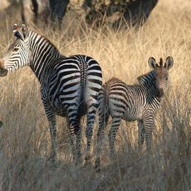 Paula Durbin: 'Mom and Baby Zebra', 2003 Color Photograph, Wildlife. Artist Description: Zambia. Giclee Print.  May be printed in other sizes and processes....