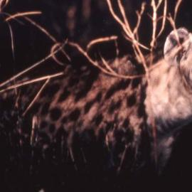 Paula Durbin: 'Night Hyena', 2001 Color Photograph, Wildlife. Artist Description: A Fresson print. Zambia. May be printed in other sizes and processes....