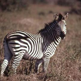 Paula Durbin: 'Zebra Looking', 2001 Color Photograph, Wildlife. Artist Description: A Fresson print.  Taken in Zambia. May be printed in other sizes and processes....