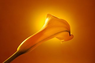 Marilyn Nosewicz Artwork Spring Calla Lilly Yellow Floral Color Photo, 2010 Other Photography, Floral