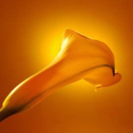 Marilyn Nosewicz: 'Spring Calla Lilly Yellow Floral Color Photo', 2010 Other Photography, Floral. Artist Description:  A Year- round reminder of Spring, and new life to come. An edition of 10 large- format Giclee prints, Shipped in a protective tube. Shipping included in USA. Outside USA, please inquire. ...