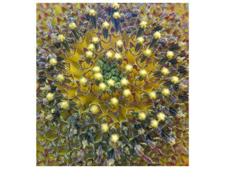 Marilyn Nosewicz Artwork Sun Flower Closeup lense Yellow  Purple Orange Digital Photograph, 2010 Color Photograph, Floral