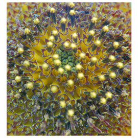 Sun Flower Closeup lense Yellow  Purple Orange Digital Photograph By Marilyn Nosewicz