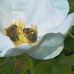 Bee It A Nectar Hangover By C. A. Hoffman