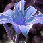 Blue Day Lilly By C. A. Hoffman