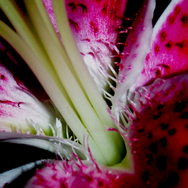 C. A. Hoffman Artwork Crimson Stalker, 2009 Color Photograph, Floral